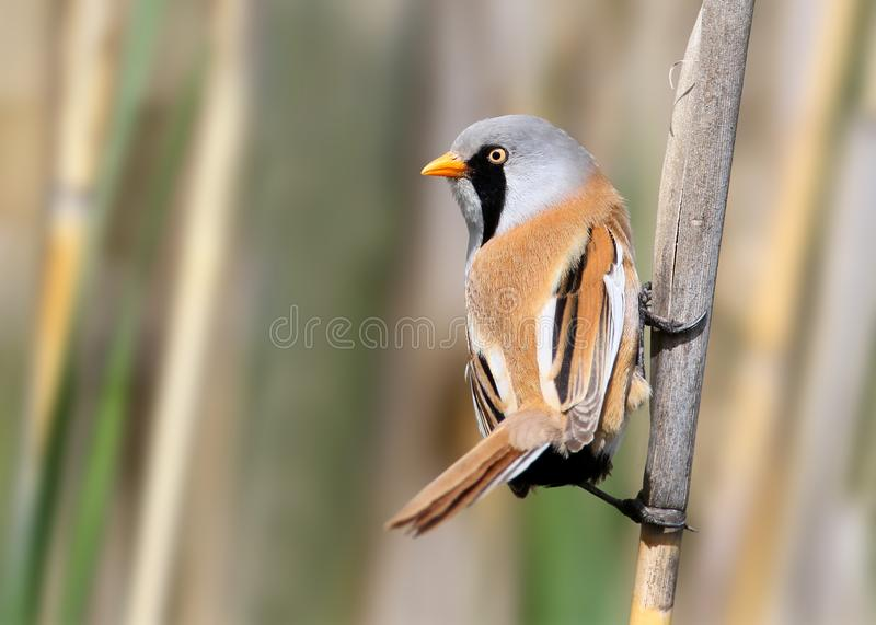 Very close up portrait of a male bearded tit sits on the reed royalty free stock photography