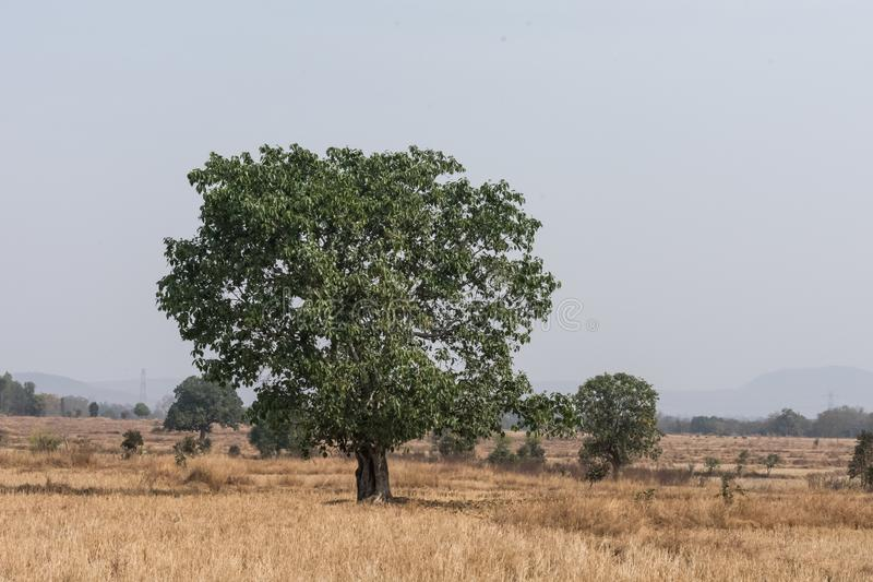 An Indian banyan tree close view at center of paddy farm looking awesome. royalty free stock photos