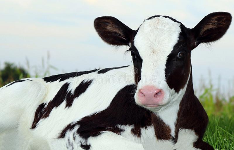 Very close view of Newborn Holstein calf laying in the grass at early evening stock photo