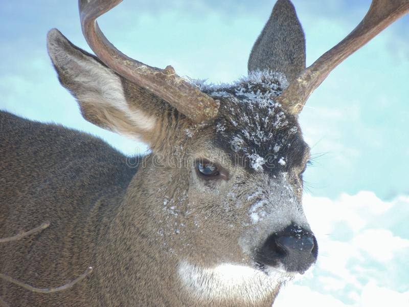 Very cold buck with frost and snow on its snout during an early winter storm. royalty free stock photography