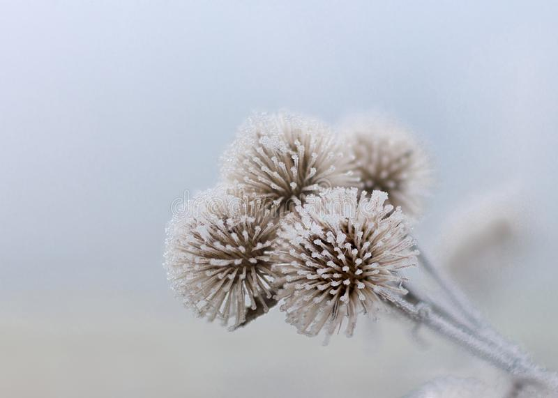 Three Frozen Flowers of January. Very cold weather on the French Vexin in this month of January royalty free stock photo