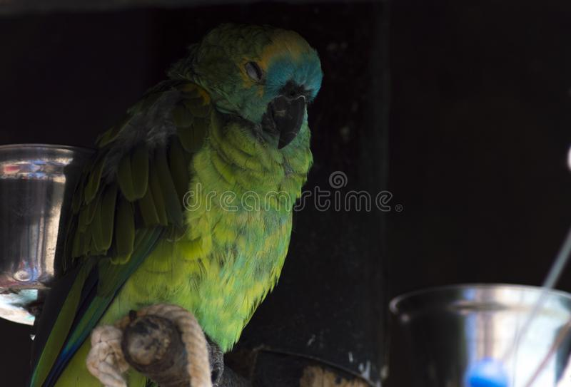 Colorful parrot relaxing and sleeping royalty free stock images