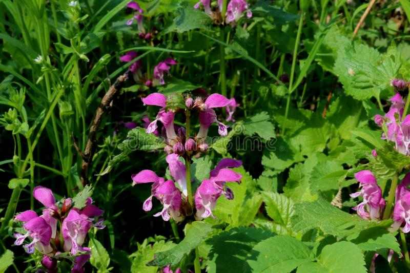 Dead Nettles with pink flowers. Very colorful green dead nettles with bright pink flowers royalty free stock photos