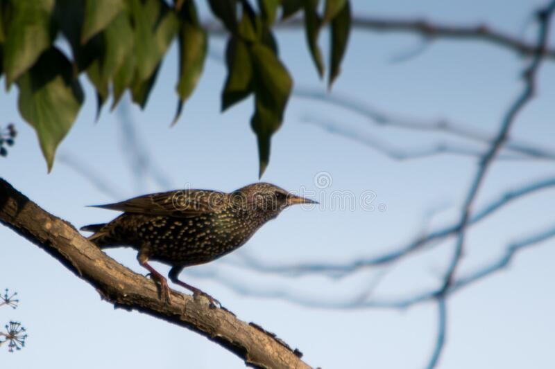 A very common bird in temperate regions Sturnus vulgaris has a shiny black plummage, with white spots. royalty free stock images