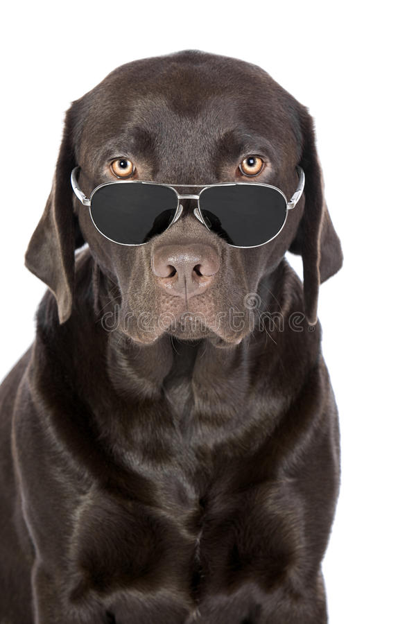 Download Very Cool Chocolate Labrador In Aviator Sunglasses Stock Photo - Image: 14395282