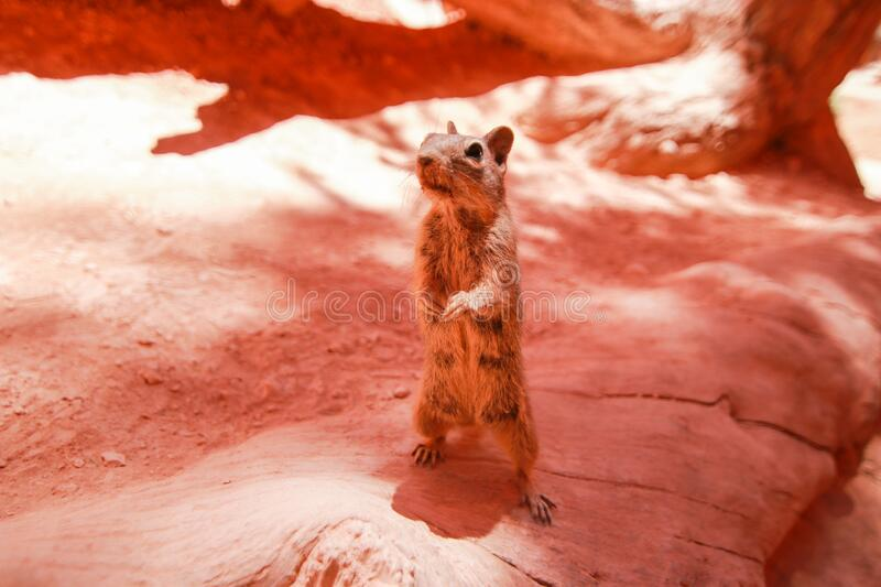 Very Curious chipmunk in Bryce canyon national park, Utah, USA. Red ground background.  stock images