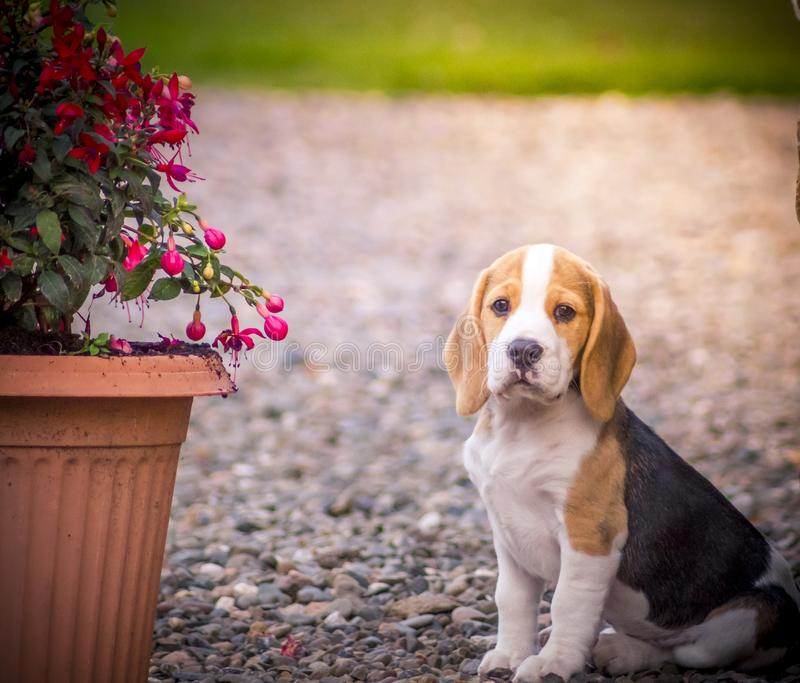 Very cute Beagle hound puppy royalty free stock photography