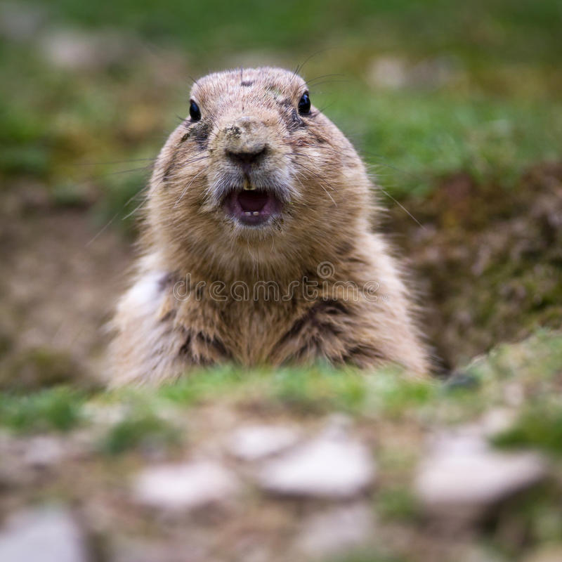 Download Very Cute Black Tailed Prairie Dog Stock Image - Image: 19311893