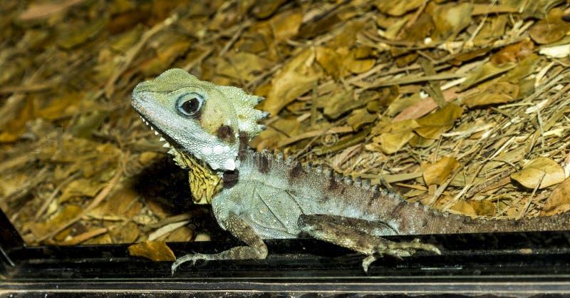 Very cute boyd`s forest dragon. Boyd`s forest dragon Lophosaurus boydii, formerly Hypsilurus boydii is a species of arboreal agamid lizard found in rainforests royalty free stock photography
