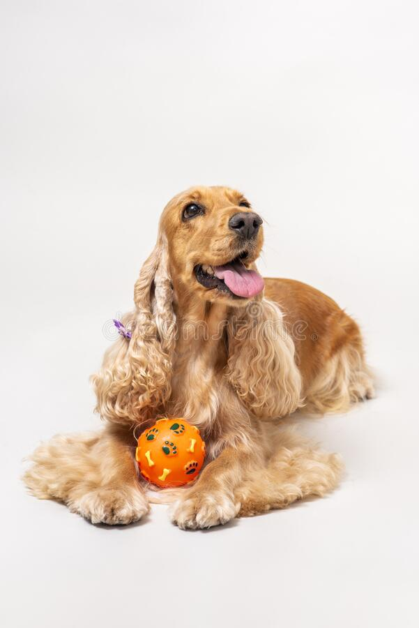 Cocker spaniel in studio over white royalty free stock photo