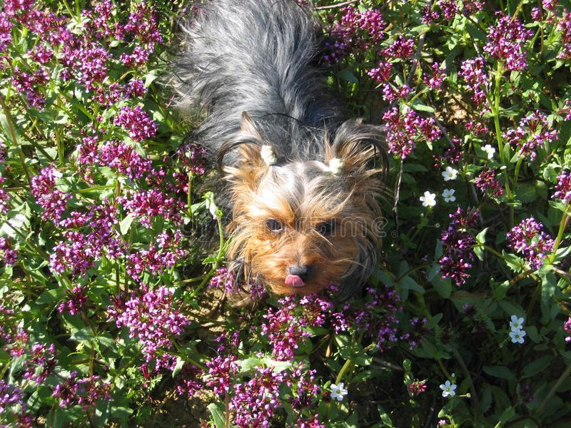 Download Very Cute Dog Yorkshire Terrier Between Flowers Stock Image - Image of domestic, nobody: 111197225