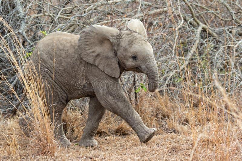 Very cute elephant cub royalty free stock photos