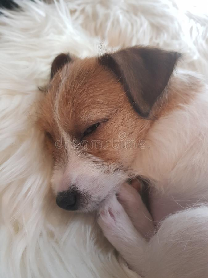 Very Cute Jack Russell Puppy stock image