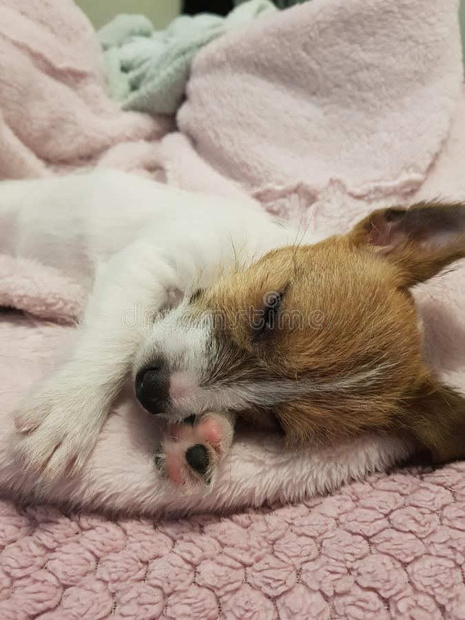 Very Cute Jack Russell Puppy royalty free stock photos