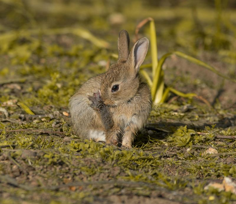 Very cute little bunny rabbit royalty free stock photography