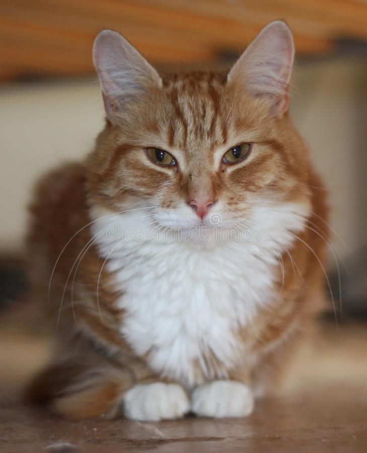Very cute long haired ginger tabby cat with white front coat. A very cute long haired ginger tabby cat with white front coat stock photo