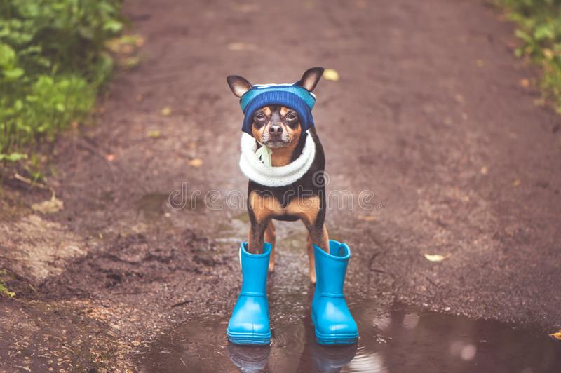 cute puppy, a dog in a hat and rubber boots is standing in a puddle and looking at the camera. Theme of rain and autumn stock photography