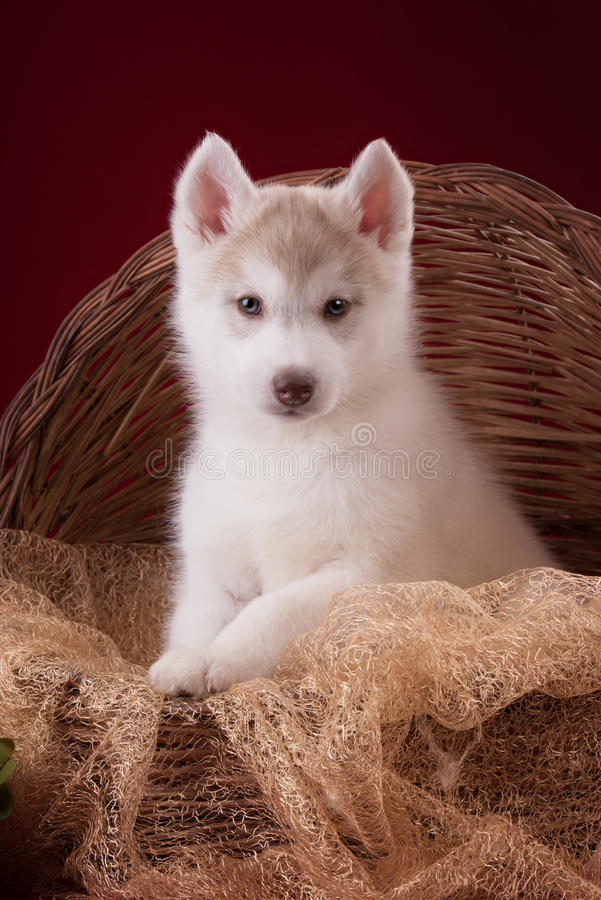 Free Very Cute Puppy Husky In The Studio With Royalty Free Stock Photography - 64263237