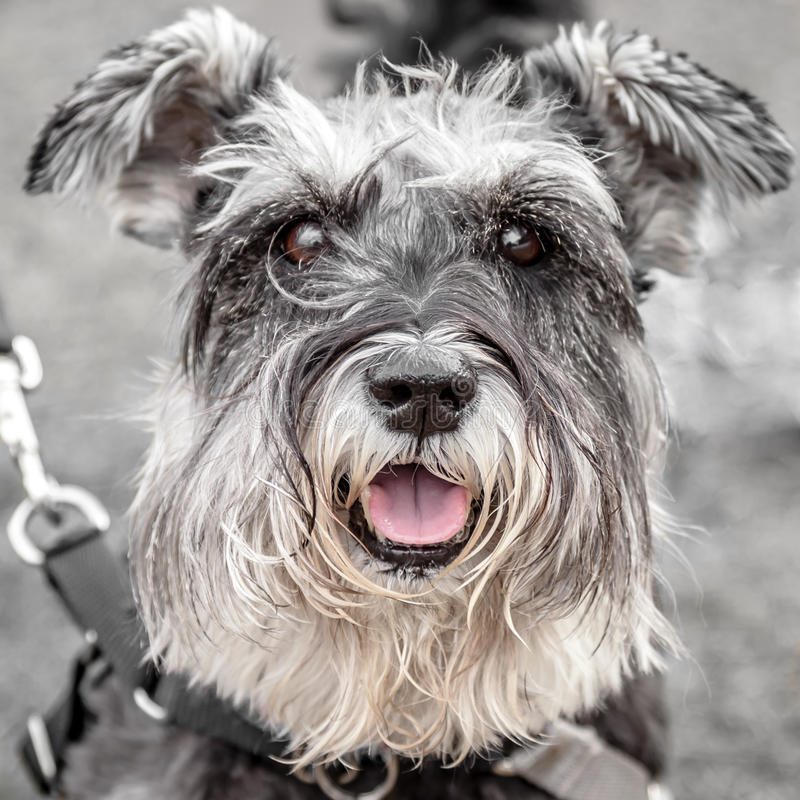 Very Cute Salt and Pepper Schnauzer with Beige Bea stock image