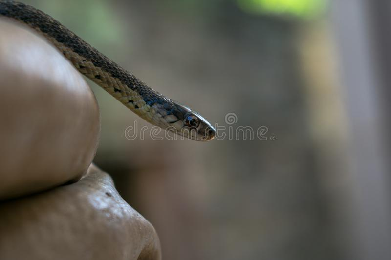 A very cute wild garter snake couple royalty free stock images