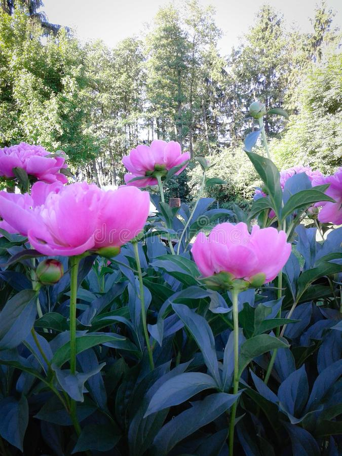 Flowers peonies ... beautiful pink and fragrant stock image