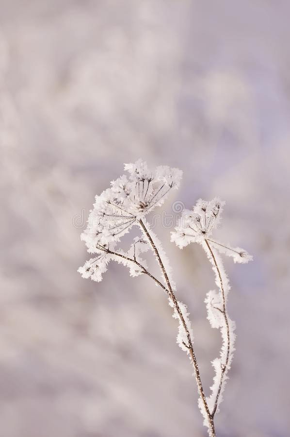 A very delicate dry flower in white delicate frost crystals. Winter frosty morning, natural background. stock image