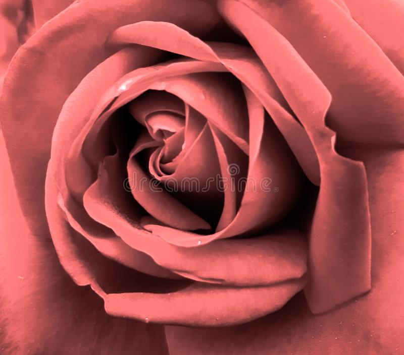 Very delicate rose color powder royalty free stock photo