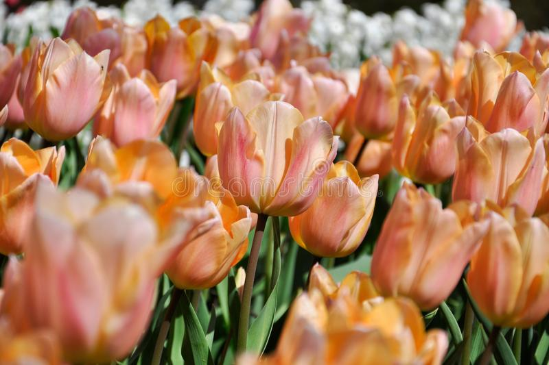 Very delicate yellow-pink tulips in the spring garden royalty free stock image