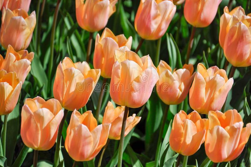 Very delicate yellow-pink tulips in the spring garden stock images