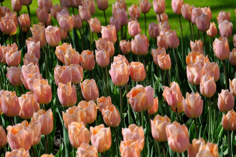 Very delicate yellow-pink tulips in the spring garden stock photo