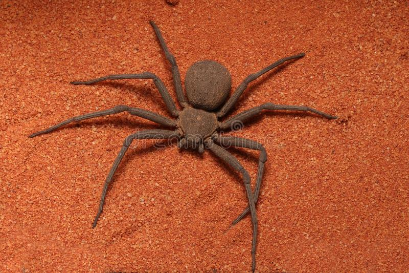 Very fast and creepy six-eyed Sand Spider Sicarius sp. Quick catching and killing of their prey royalty free stock photos