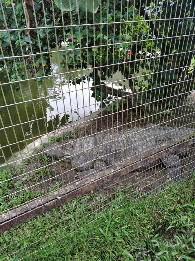 A very Fat Crocodile who can eat plenty of fish thousand of people come to watch the animal. A very Fat Crocodile who can eat plenty of fish thousand of people stock image
