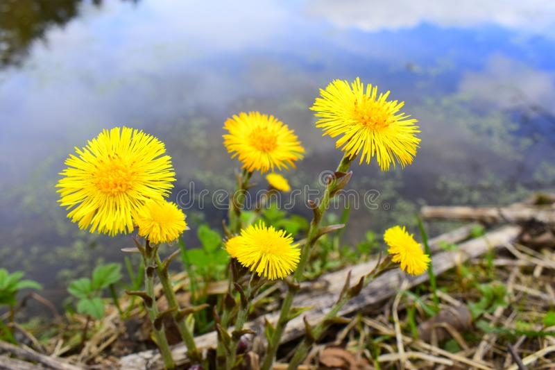 The very first spring flowers. The flowers bloom and emit a bright yellow glow royalty free stock photography