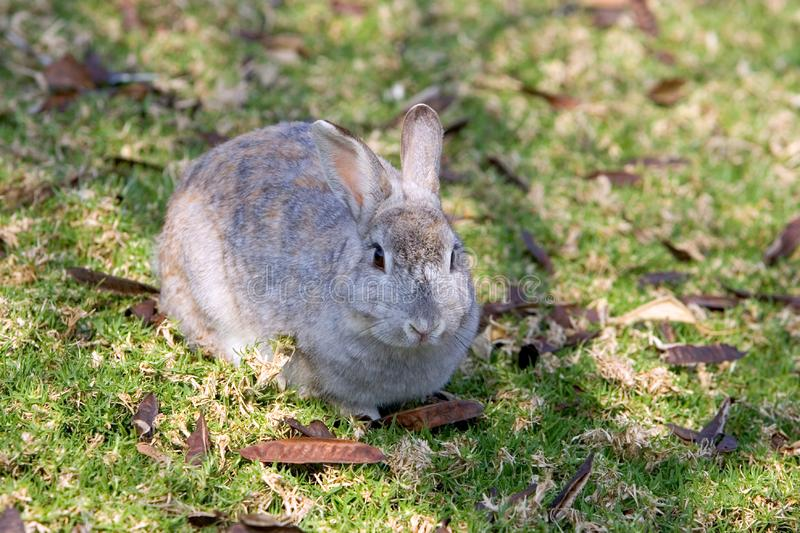 Very fluffy bunny rabbit in a field in Spain royalty free stock photos