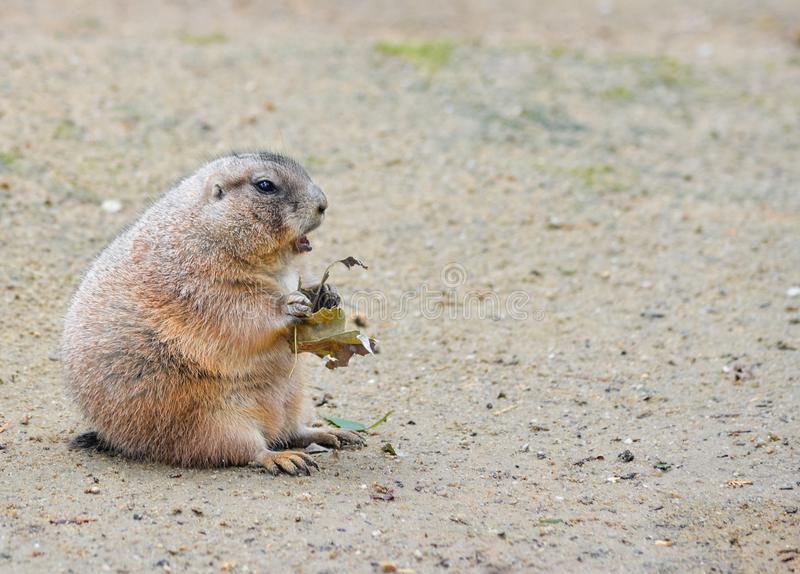 Very funny and angry Prairie dog eating food in natural background at the zoo. Prairie dogs or Cynomys. royalty free stock images