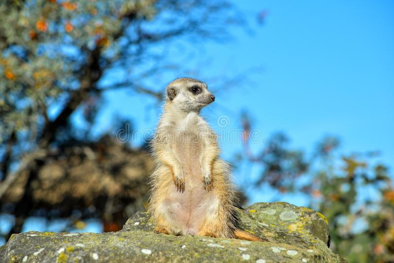 Very funny Meerkat Manor sits in a clearing at the zoo and bright blue sky and trees as blurry bokeh. stock images