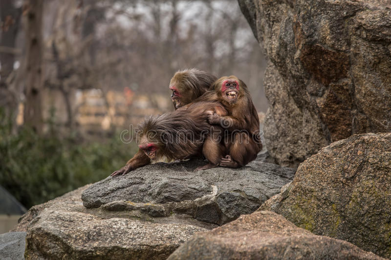 Very funny. Monkeys making love and smiling at zoo in Berlin royalty free stock photo