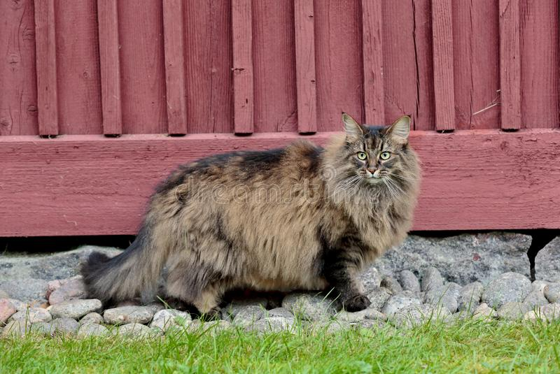 A very furry norwegian forest cat female outdoors. A very furry norwegian forest cat female standing outdoors near a house stock photo