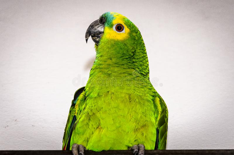 Very green parrot. In Brazil royalty free stock image
