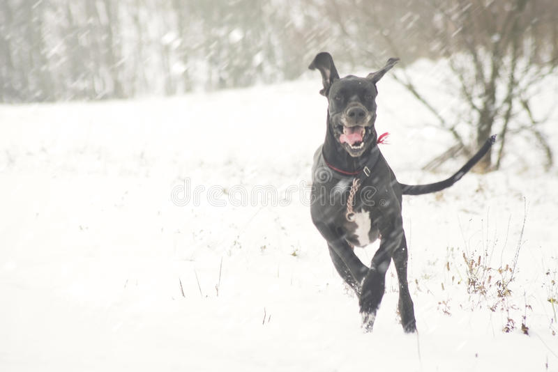 Download Very Happy Dog  Running On First Snow Field Stock Image - Image of dane, young: 83545903