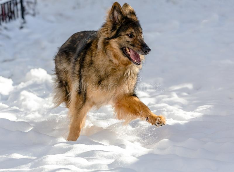 A happy dog runs in the snow. A very happy German Shepherd Dog GSD runs in snow in a residential neighborhood royalty free stock photography