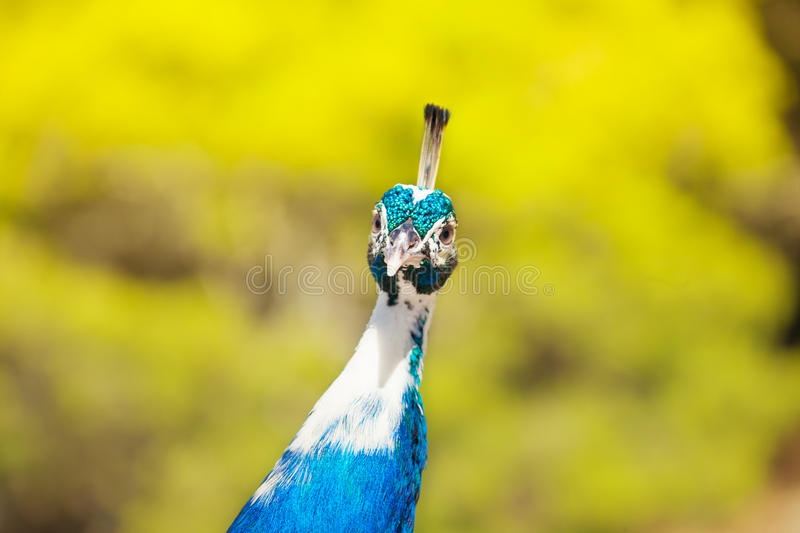 Download Very interested peacock stock photo. Image of close, bird - 28689098