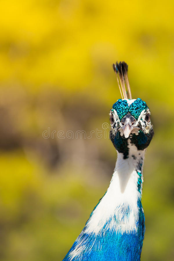 Download Very Interested Peacock Looking At Camera Stock Photo - Image: 28403642