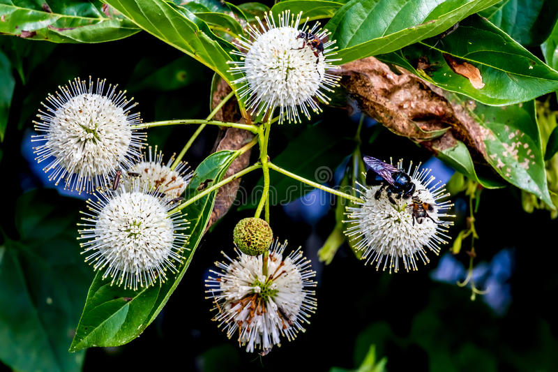 A Very Interesting Closeup of the Spiky Nectar-Laden Globes (Blooms) of a Wild Button Bush with a Black Bee. A Very Interesting Closeup of the Spiky Nectar-Laden stock photography