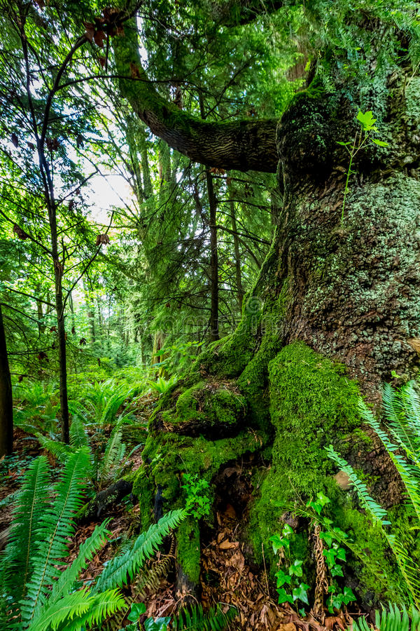 A Very Interesting Mystical Cedar Tree Covered with Moss royalty free stock image