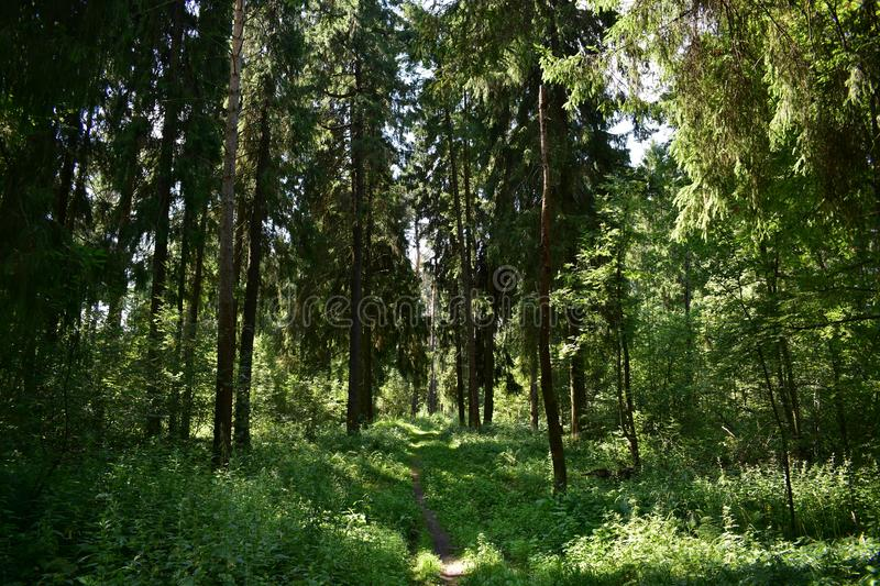 It is very interesting to visit the forest in summer. In General, the summer forest is very beautiful royalty free stock photos