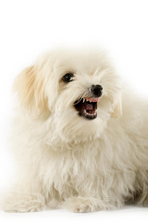 A very intimidating bichon. Maltese showing it's teeth royalty free stock photos