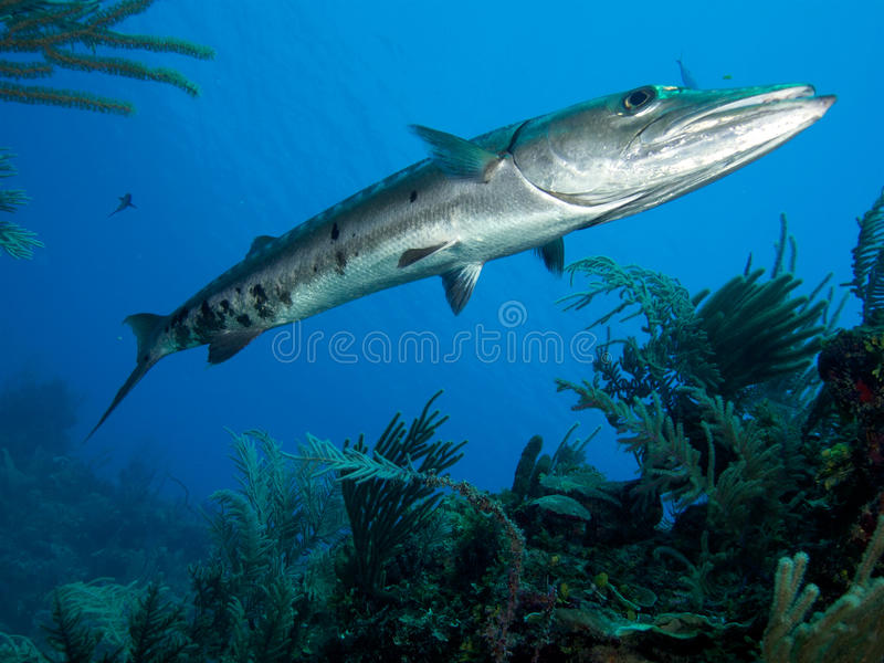 Very large great barracuda in Jardin de la Reina Cuba royalty free stock photo