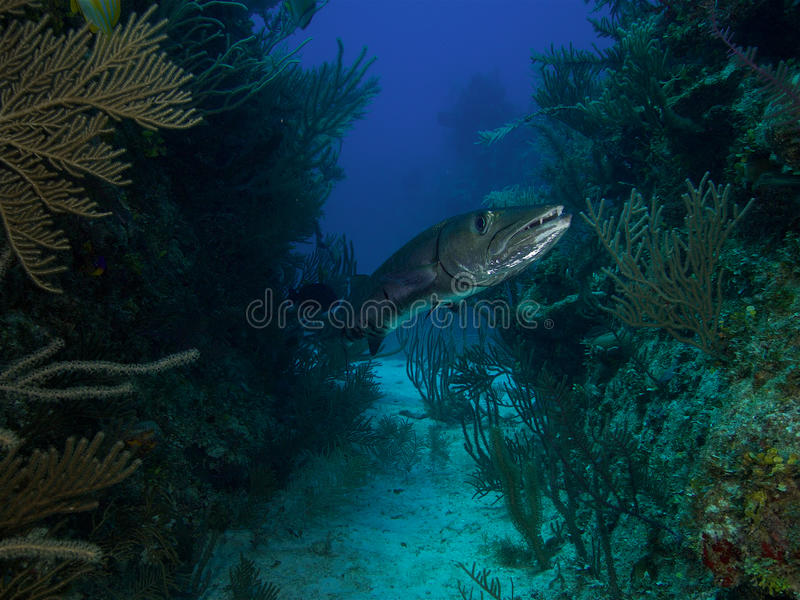 Very large great barracuda in Jardin de la Reina Cuba royalty free stock photos