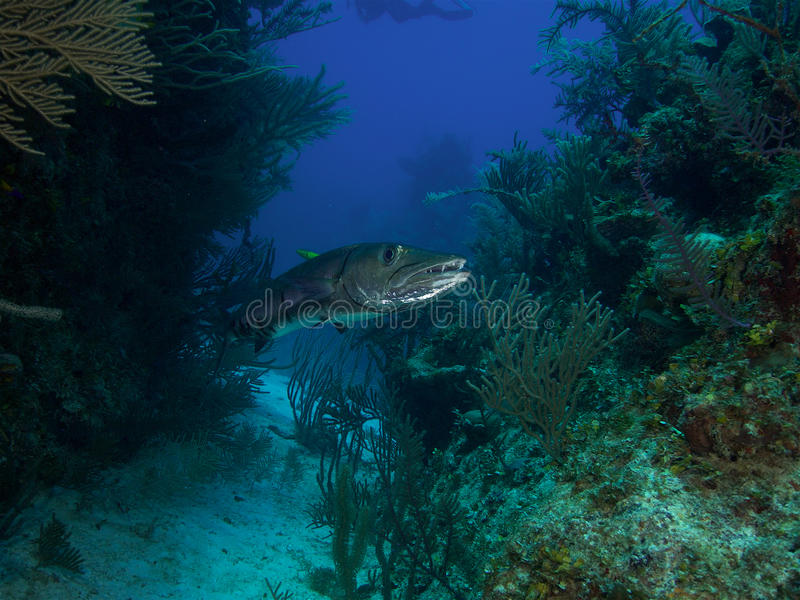 Very large great barracuda in Jardin de la Reina Cuba stock photo